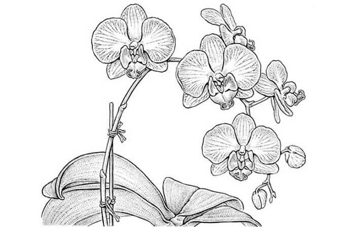 Sketsa Bunga Anggrek Sederhana Sempoa Dunia