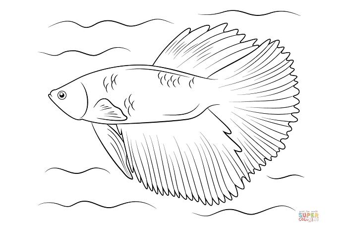 sketsa gambar ikan cupang