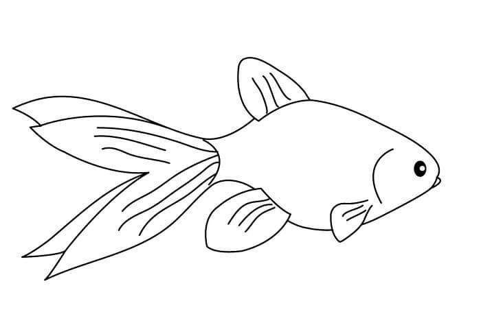 sketsa gambar ikan mas koki